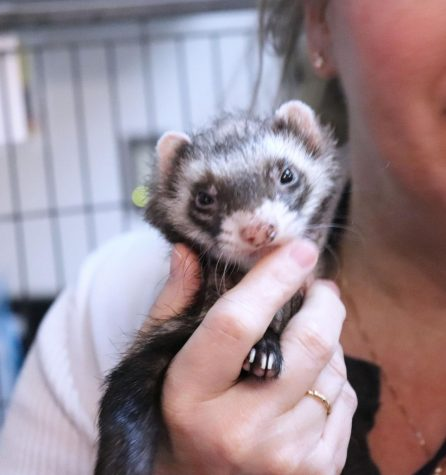"DeFord's personal favorite class pet, Rico the ferret enjoys making students happy by playing with the students in DeFord's classroom. ""Rico is my personal favorite, he"
