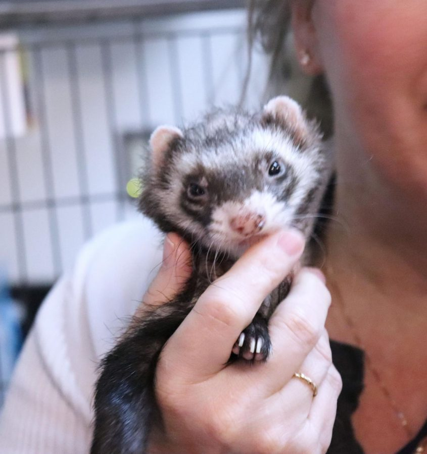 """DeFord's personal favorite class pet, Rico the ferret enjoys making students happy by playing with the students in DeFord's classroom. """"Rico is my personal favorite, hes the ferret and he is in his last bit of life left because he has a drainal disease,"""" said DeFord"""