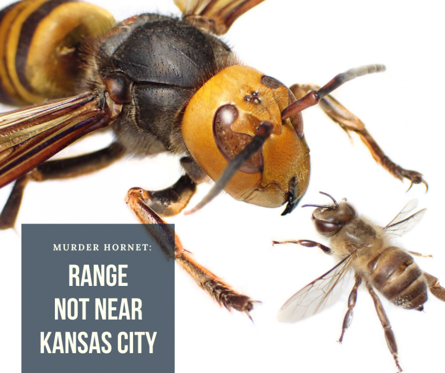 Murder Hornets: Are they really murderous?